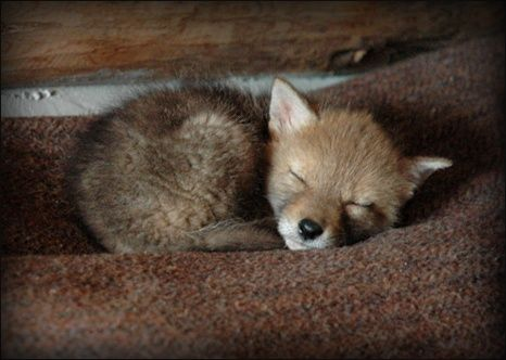 .little fox