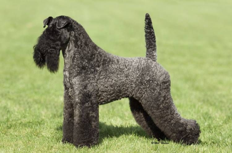 Kerry Blue Terrier (With images) Kerry blue terrier, Dog