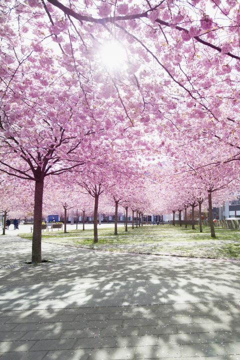 Http Www Dcpages Com Tourism Cherry Blossoms Image Cherry Blossom Map Png Cherry Blossom Blossom Travel Blog