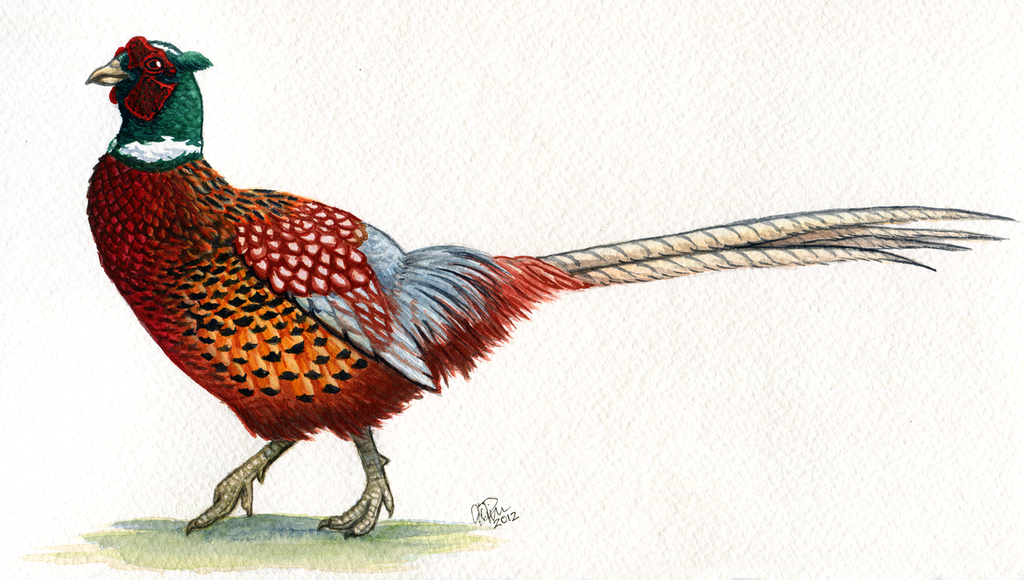 Painting A Ringneck Pheasant In Acrylics
