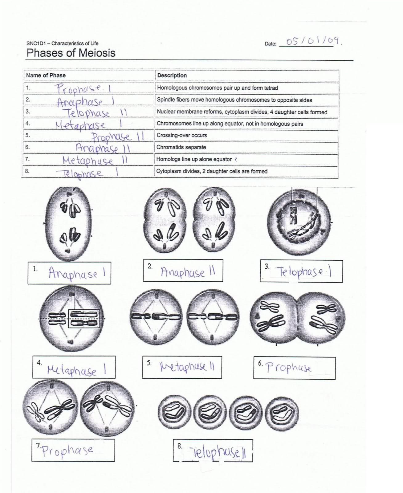 Worksheets Meiosis Diagram Worksheet resultado de imagen meiosis stages worksheet actividades worksheet