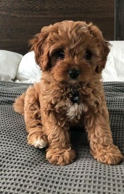 What are the needed requirements to Buy Teacup Cav