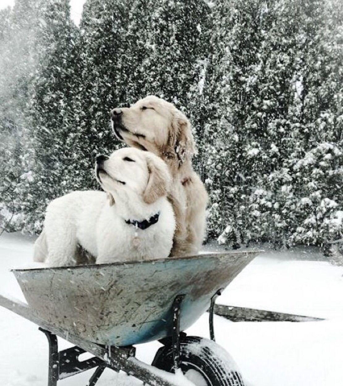 Dogs in wheelbarrow in the snow. Precious Pets, Cute
