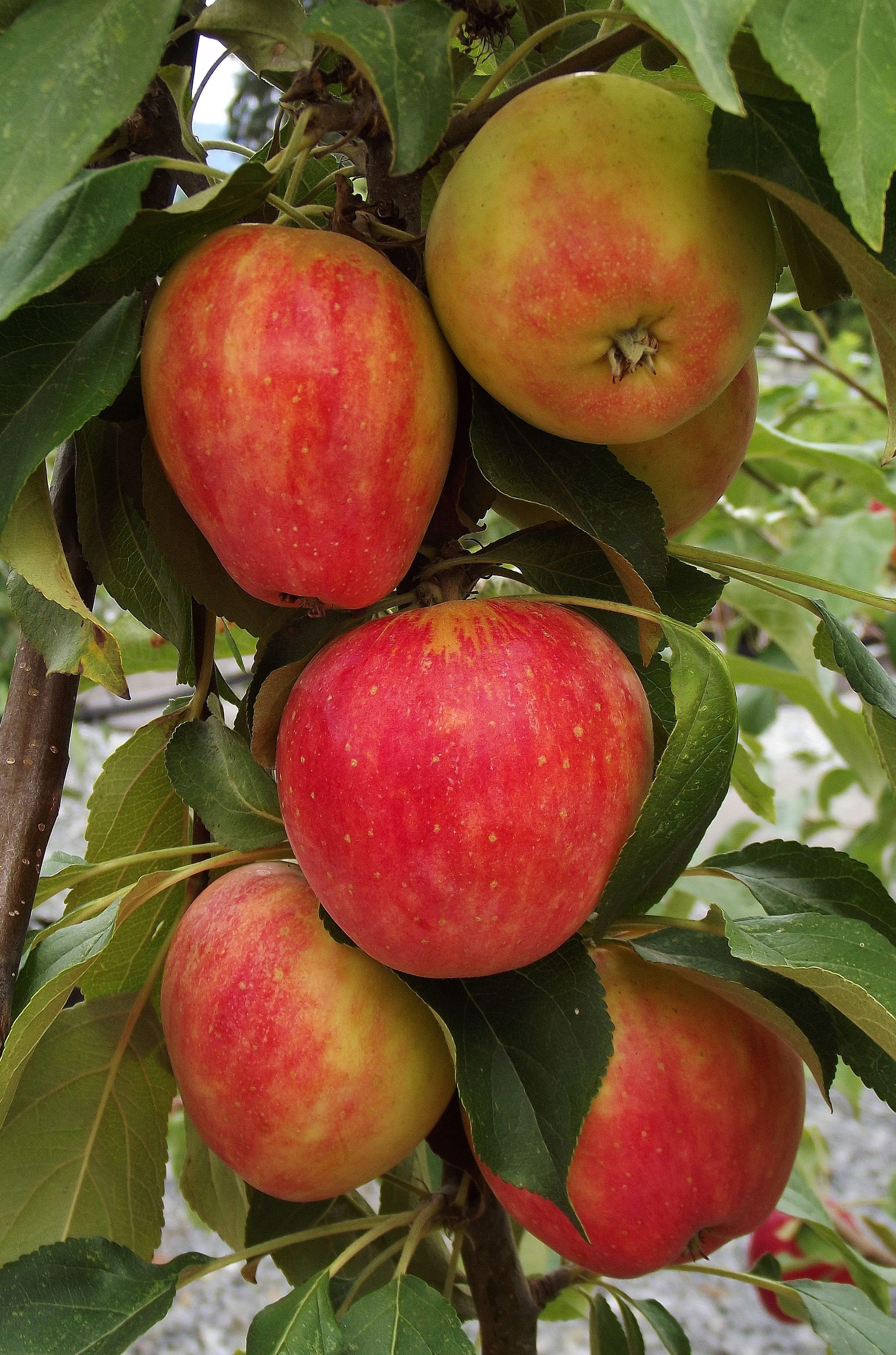 Hardy Apple Malus X Goodland
