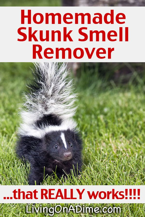Homemade Skunk Smell Remover That Really Works Skunk Smell