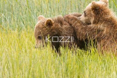 playing bear cubs - A brown bear cub tries to climb its sibling