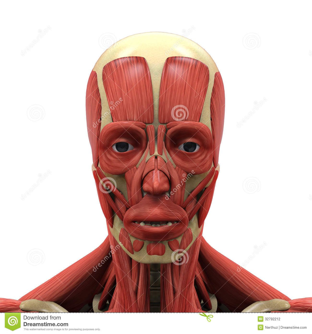 Human Muscle Anatomy Face Human Face Anatomy