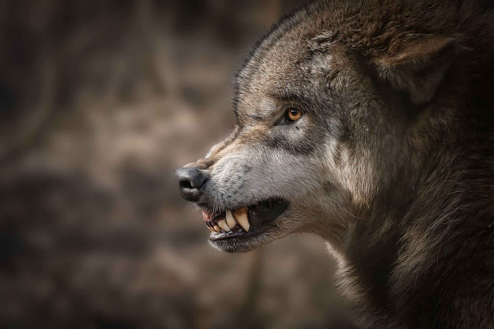 простые декоративные фото волков злых красивых чтобы сделать