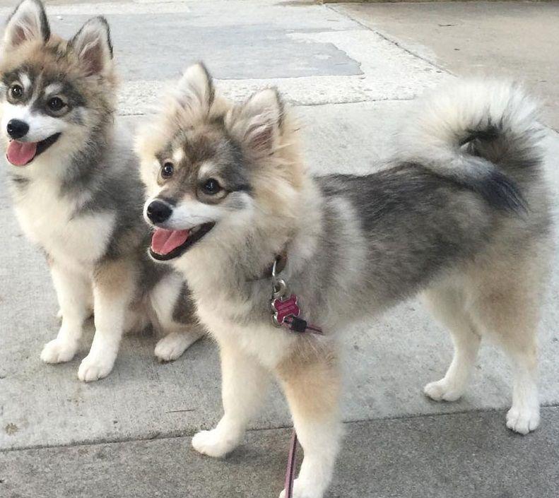 Pomsky The Best Of Husky And Pomeranian Animalsbay In 2020 Pomsky Dog Pomsky Puppies Dog Breeds