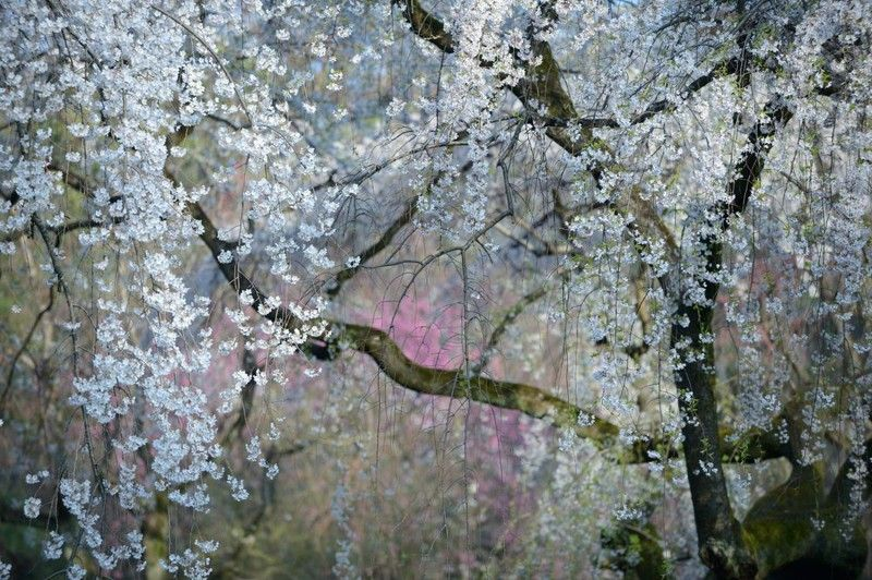 a weeping cherry tree blooms on the grounds of the imperial palace in kyoto japan the trees typically bloom in late march and early april