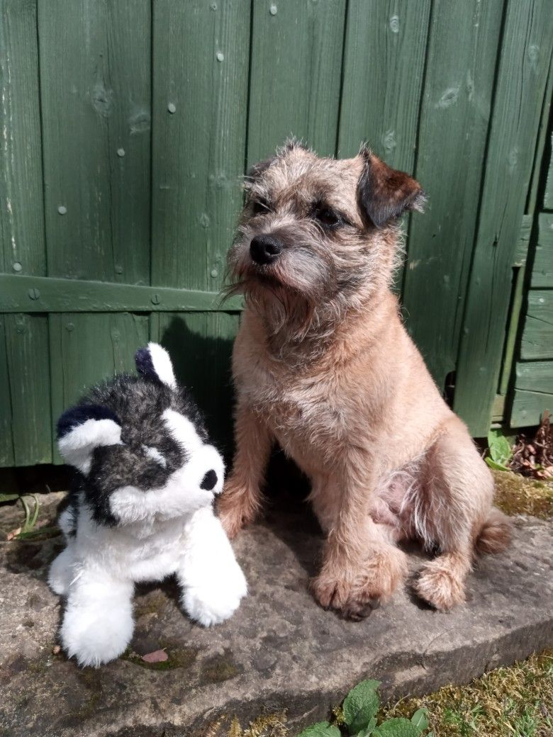 Betsy The Border Terrier With Her Favourite Toy Border Terrier