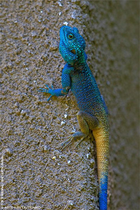 Acanthocercus atricollis, Smith, 1849 (Blue-headed Tree Agama), male, Semuliki Forest, Uganda