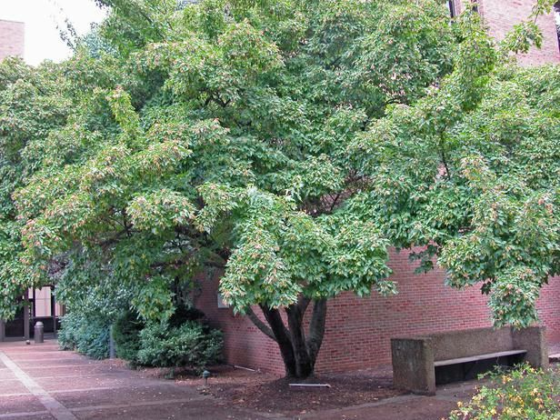 A Lovely Little Tree With A Wide Spreading Canopy The Amur Maple Amur Ginnala Can Either Be A Large Shrub Or A Patio Trees Backyard Landscaping Shade Trees