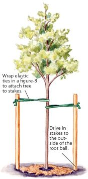 How To Stake A Tree Trees To Plant Garden Trees