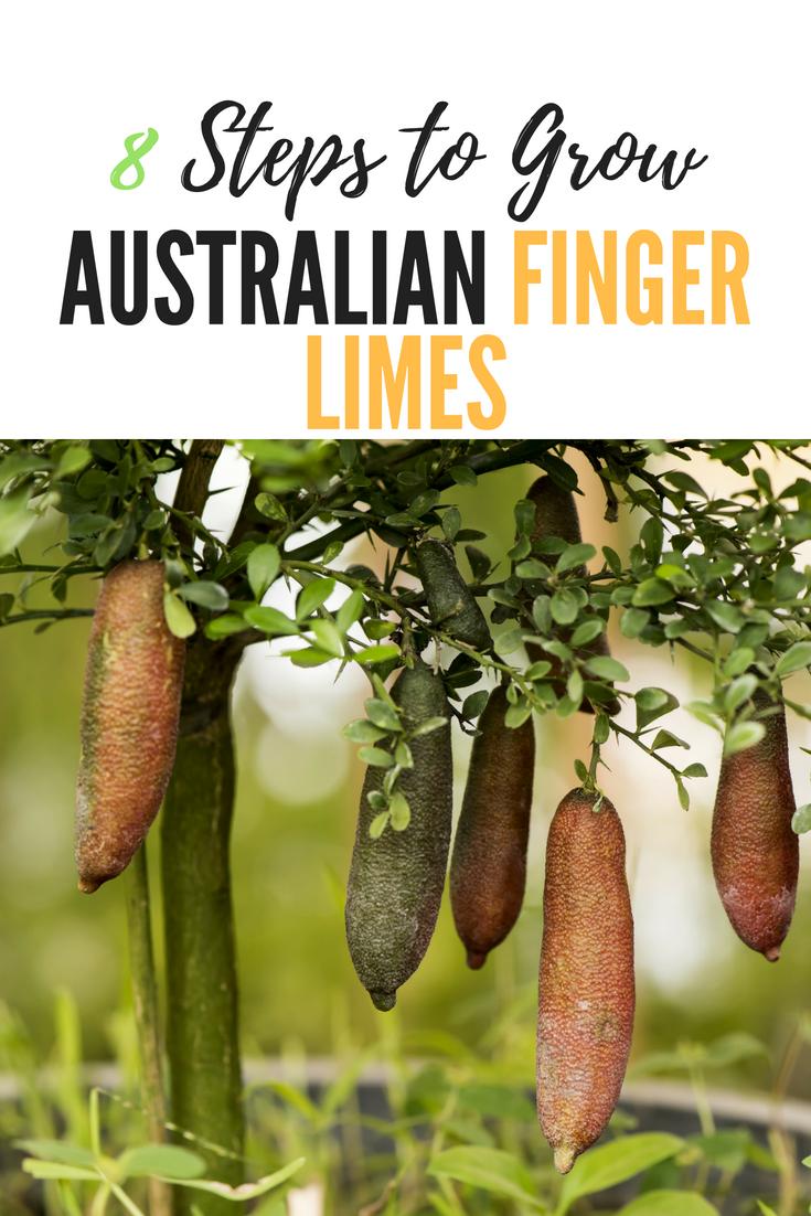 Eight Steps To Growing Australian Finger Limes In Containers Finger Lime Australian Native Garden Veg Garden