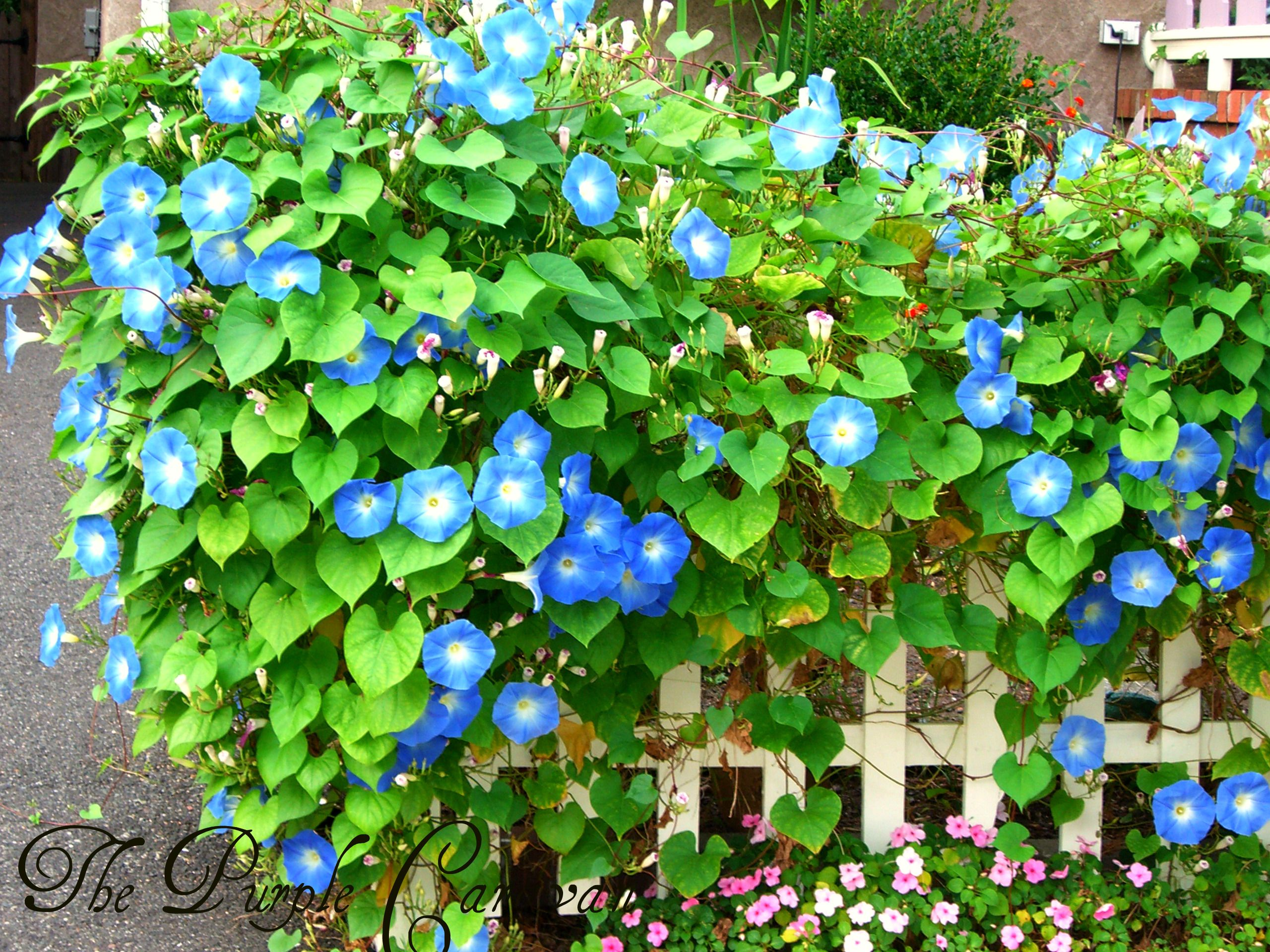 Morning Glories Blue Morning Glory Flowers Nature White Lilies
