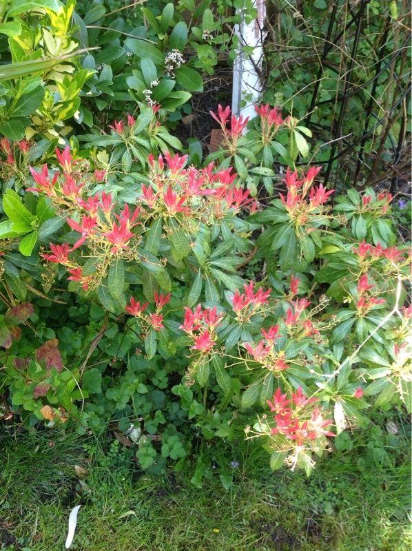 Free Plant Identification Evergreen shrubs, Pink flowers