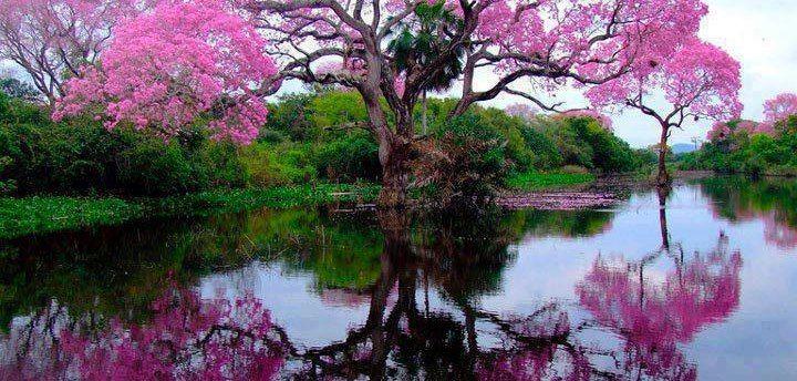 The Pristine Piuva tree of Brazil!