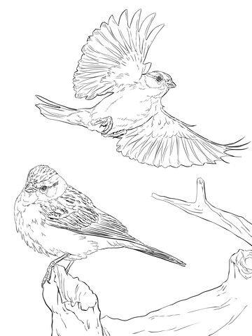 Dos Gorriones Coronirrufos Dibujo para colorear | pájaros y aves ...