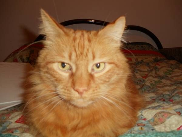 Lee Endwell 7 1 Large Long Hair Orange Tabby About 17lbs Lost In Watson Hooper Area Contact Through Craigslist Orange Cats Cat Pics Red Cat
