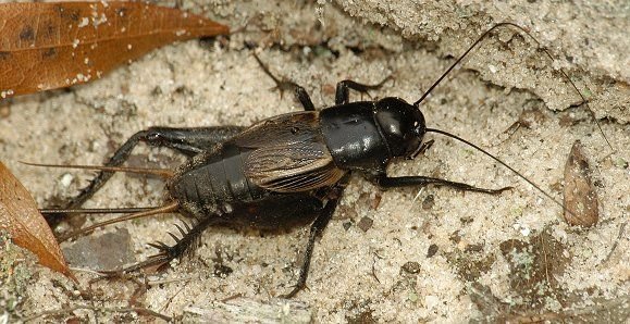 e6afcb90c16247f5fe2a4e984fda634f - How To Get Rid Of Crickets In The House Nz