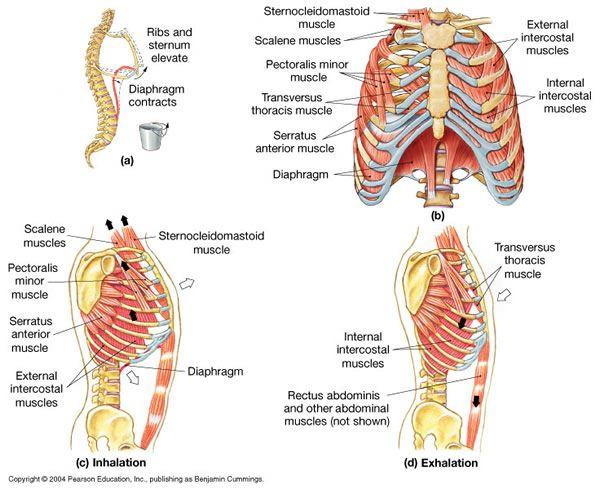Expiration Muscles Abdominal Muscles Internal Intercostal Muscles