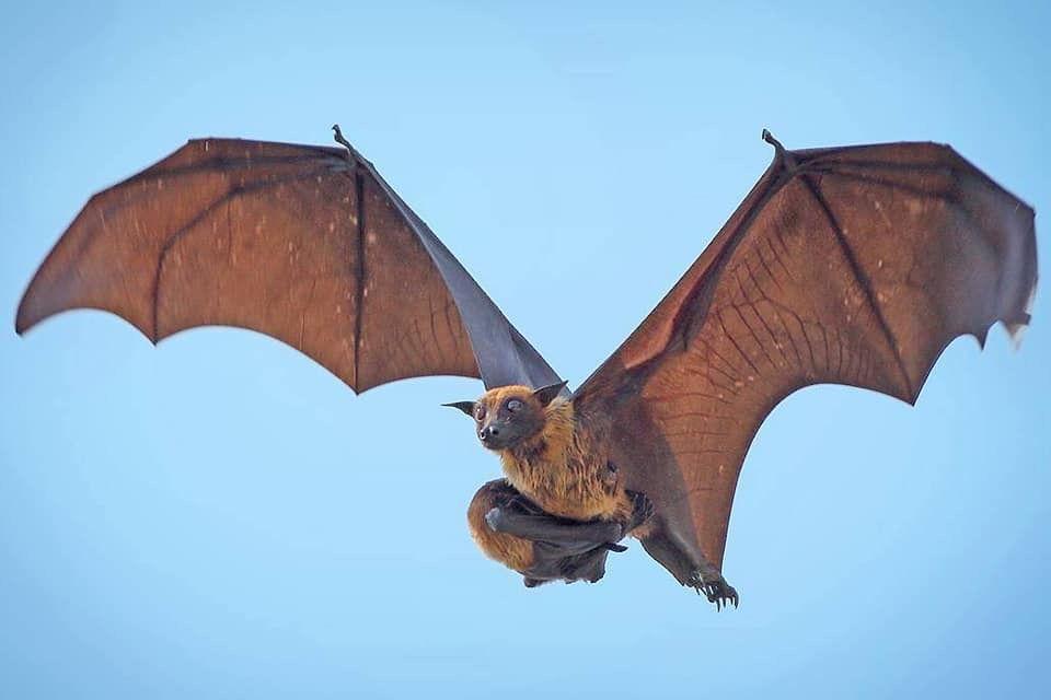 الثعلب الطائر أضخم أنواع الخفافيش في العالم يحتضن صغاره أثناء طيرانه بحثا عن الغذاء والمأوى ويقضي يومه في الأشجار ويتغذى ليلا على المانجو والموز وا Umbrella