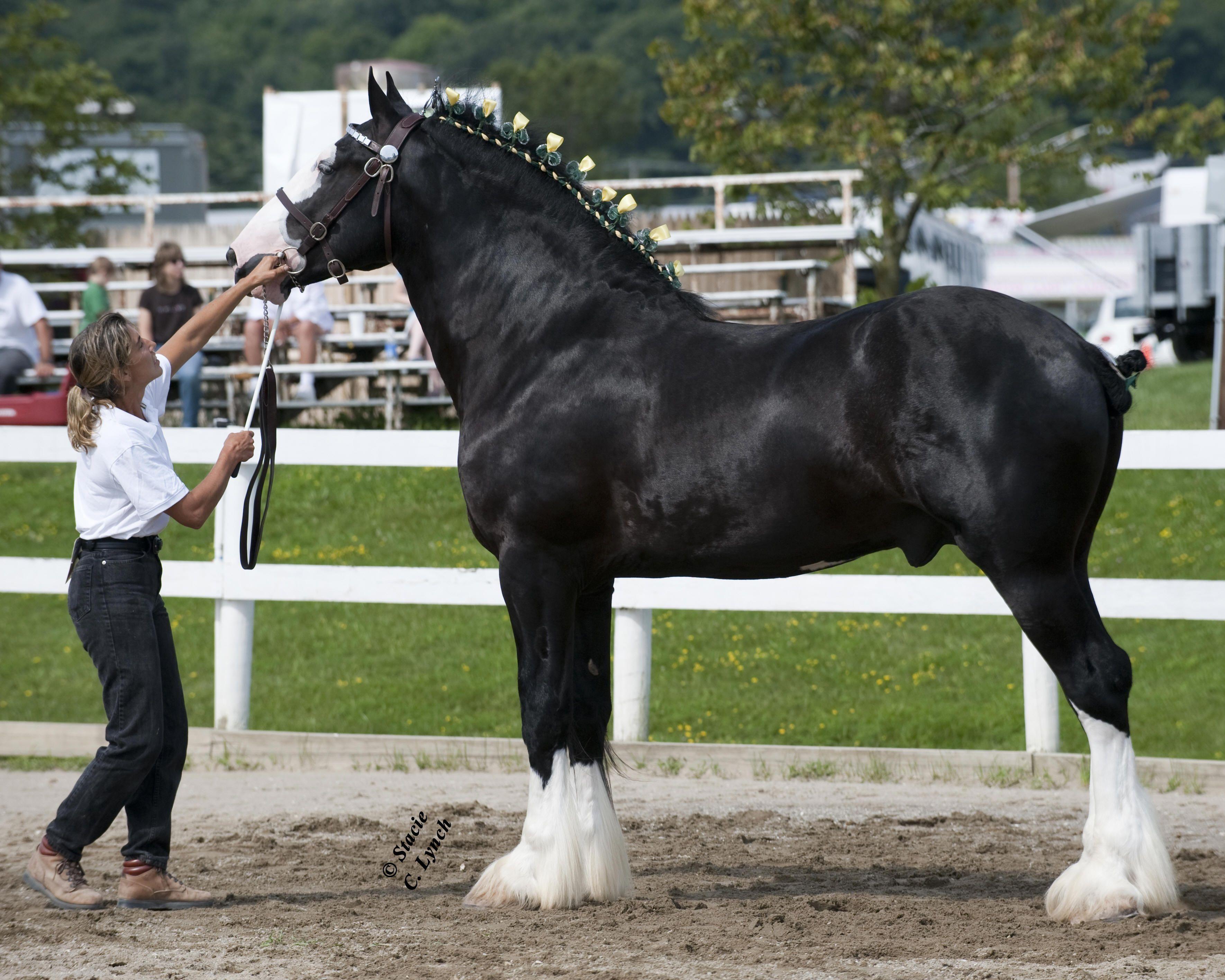 картинки с тяжеловозами лошадьми железы хорошо