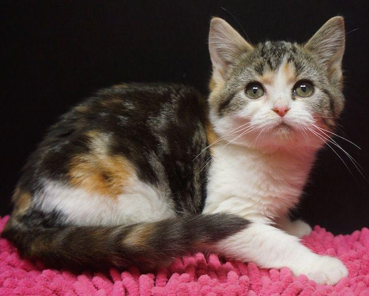 American Shorthair Calico Kitten American Shorthair Cat Calico Kitten Ragdoll Kittens For Sale