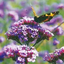 Once we have planted them, we relinquish our ownership, to others.  Verbena bonariensis Plants