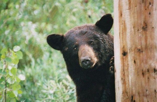 Research Shows Black Bears Can Count Black Bear American Black Bear Bear