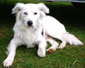 Annebevinskay J Jpg Border Collie White Border Collie Diy Dog