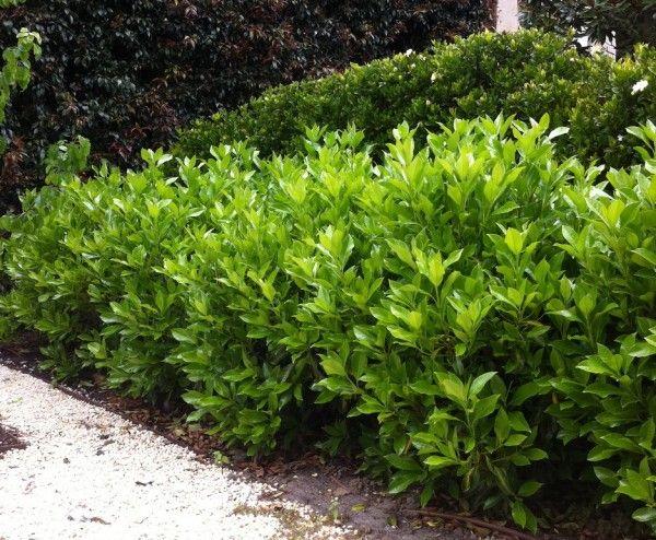 Viburnum odoratissimum 'Awabuki' | Details of the Plant | TGA Australia
