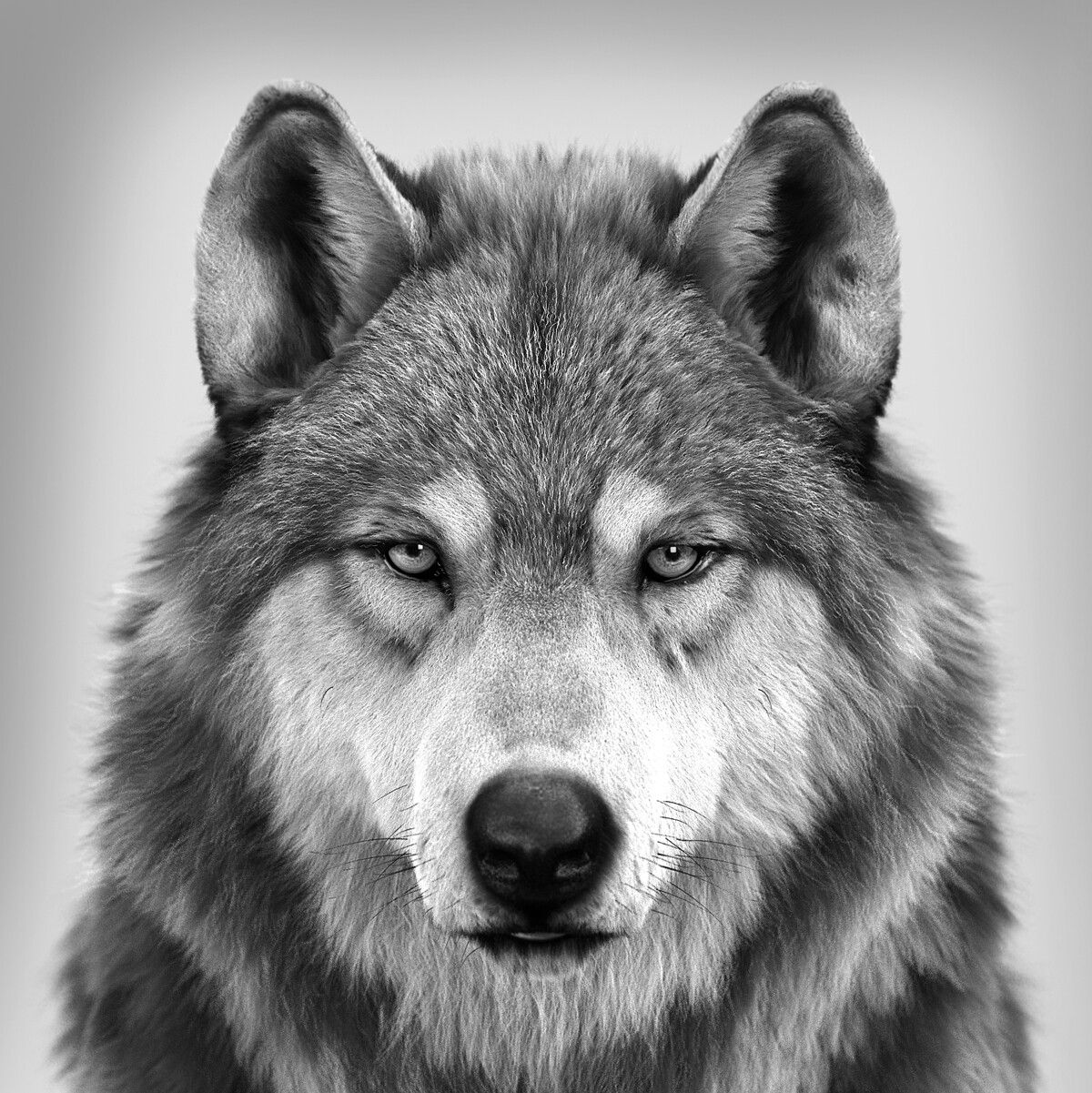 Wolf Portrait (different angle), Massimo Righi