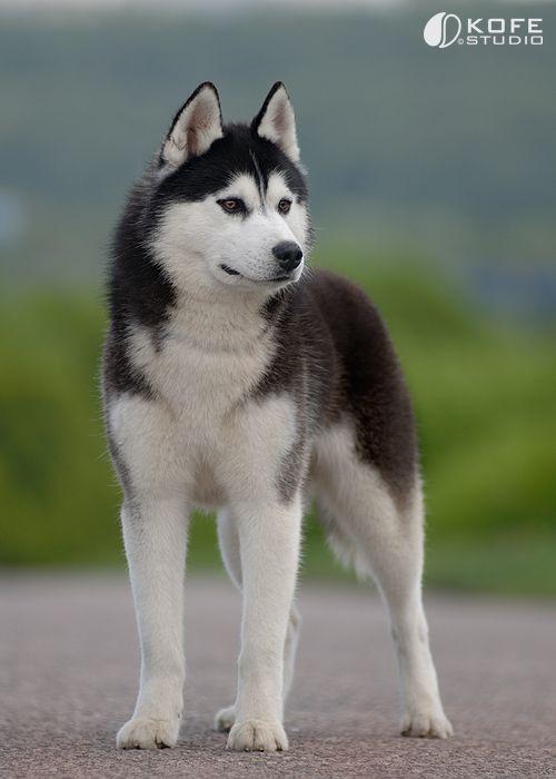 Pin Von Martina San Juan Auf Sibirische Huskies Tier Aktivitaten Sibirische Huskies Hunderassen