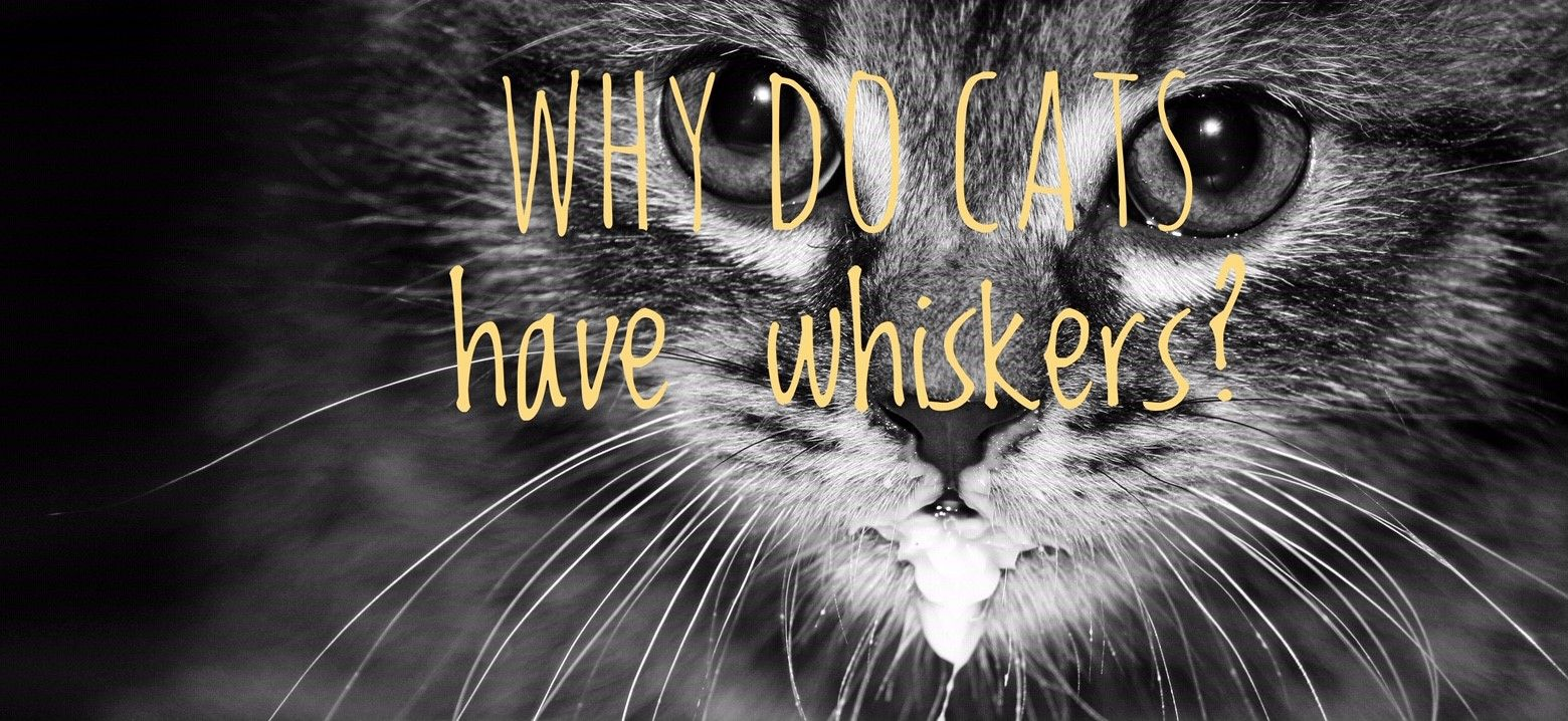 Why do cats have whiskers? Cat facts, Fun facts about