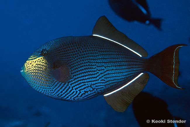 Black Triggerfish Melichthys Niger Tropical Fish Photo From Tropical Fish And Aquariums Animali