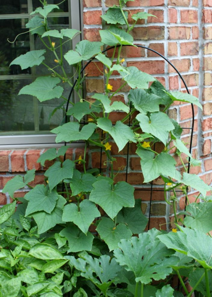 How To Grow Cucumbers On A Trellis Small Space Gardening Small Space Gardening Growing Cucumbers Cucumber Plant