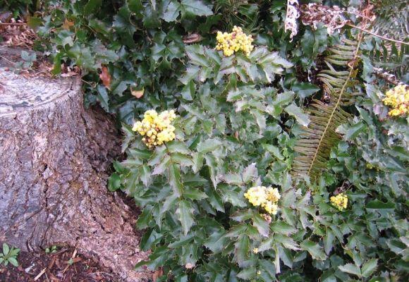 Mahonia Berberis Aquifolium Tall Oregon Grape There Is Also A