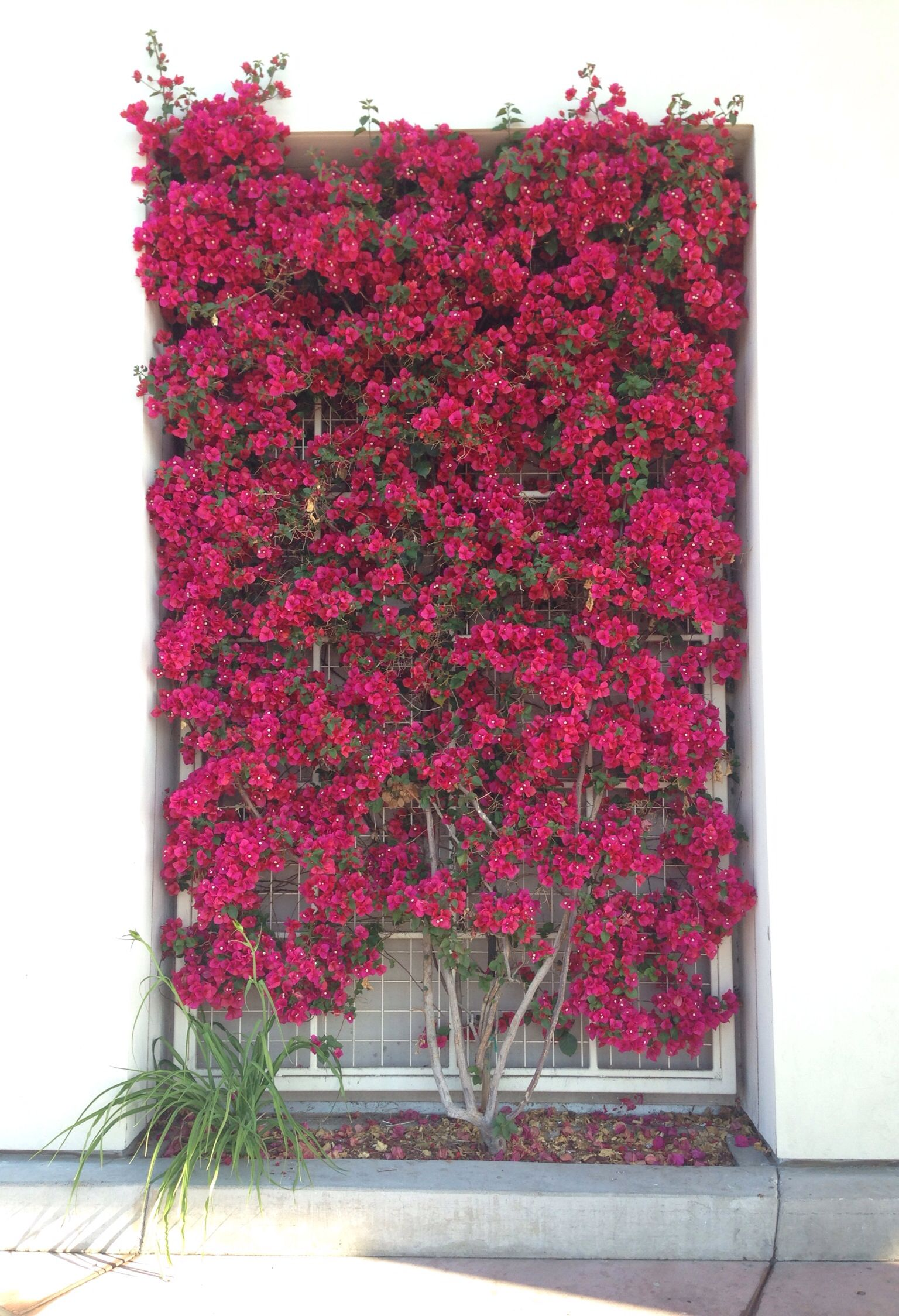 bougainvillea trellis ideas