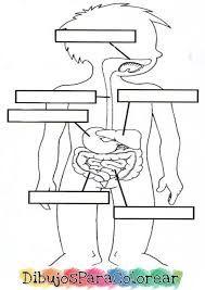 Resultado De Imagen Para Sistema Digestivo Para Colorear Cuerpo