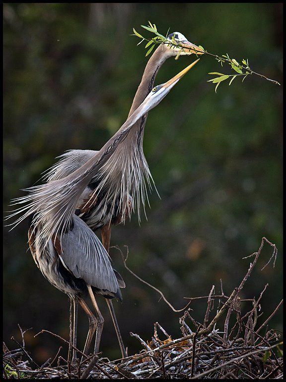 'She gently took the branch from him': Great Blue Heron by John Isaac. Thanks to @Christine Almeida #Photography #John_Isaac #Great_Blue_Heron