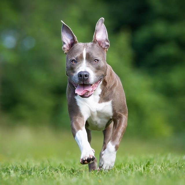 American Staffordshire Terrier Dog Breed Information Large Dog