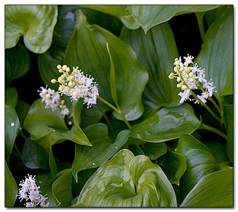 Maianthemum dilatatum (false lily of the valley). Easy, naturalizing, spread where wet soil