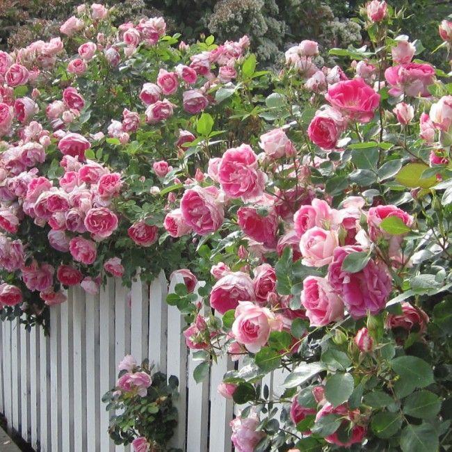 Simple Rose Garden: Carefree Wonder™ 'Carefree Wonder' Lives Up To Its Name