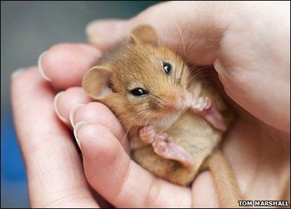 I know it\u0027s not a rat but it is still and adorable little rodent! \ Dormice are an endangered species and mainly found in the southern counties of Britain. & Dormouse _ I\u0027ve often said if I were an animal I would probably be ...