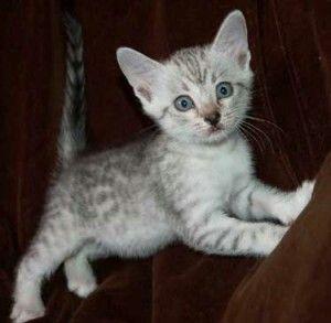 Egyptian Mau Kitten Egyptian Mau Kitten For Sale Kittens