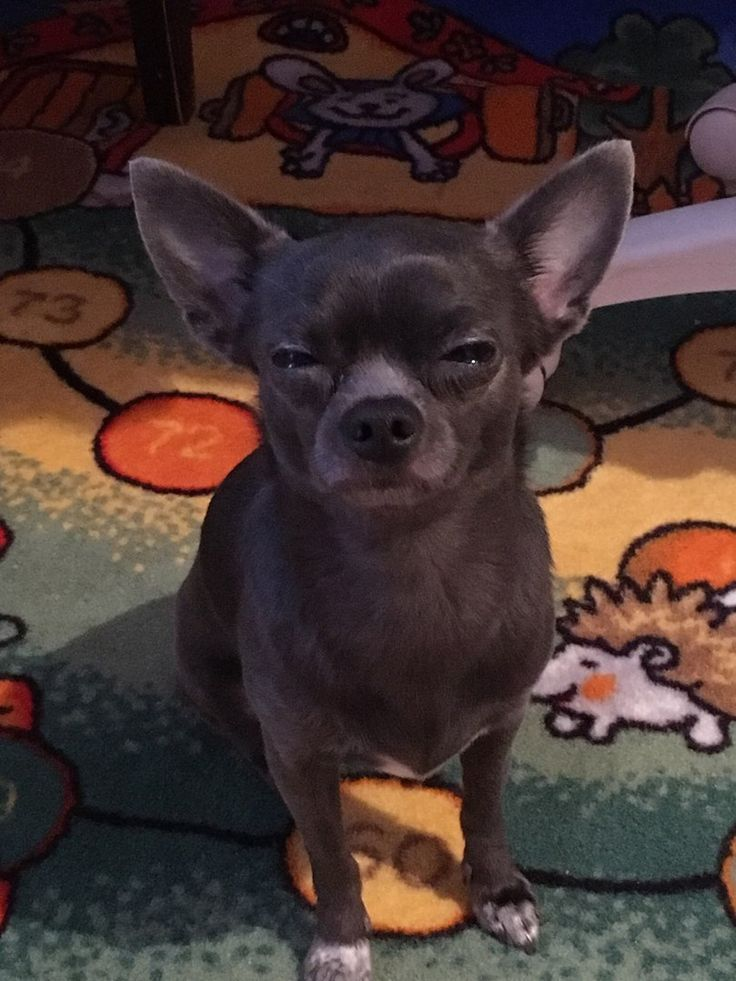Chihuahua Funny Hilarious Humor Laughing Lol Awkward Moments