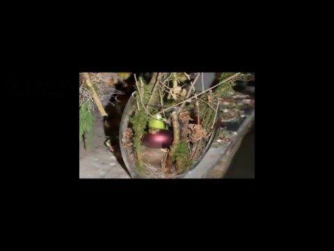 amaryllis im glas youtube weihnachtsdeko amaryllis. Black Bedroom Furniture Sets. Home Design Ideas