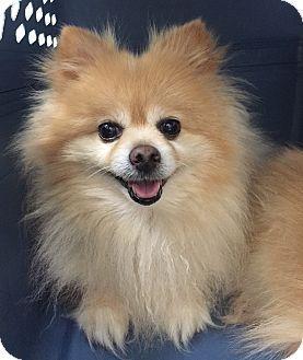 New York Ny Pomeranian Mix Meet Coco A Dog For Adoption Http